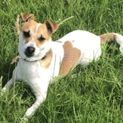 Lost dog on 28 Aug 2019 in Batterstown, Kilcloon, Dunboyne. lost... Jack Russell missing in Batterstown, Kilcloon, Dunboyne area please share 😪😪 he was with a golden retriever who has been found. Call Anna on 0879741260. He is microchipped and tagged Kilcloon Mulhussey Batterstown Moynalvey Notice Board.