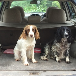 Lost dog on 28 Jul 2019 in Killaloe, Co. Clare. Small brown and white springer spaniel bitch.