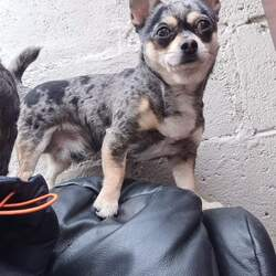 Lost dog on 28 Jun 2021 in Griffith park, Drumcondra Dublin. AKI is a Blue Merle Chihuahua. He is 3 yrs old and microchipped. He was last seen on Monday the 28th of June at Fagans Pub Drumcondra Dublin. Have you seen him