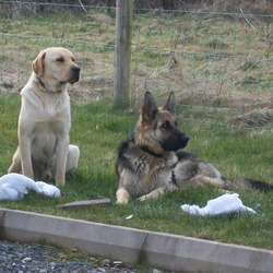 Lost dog on 28 Mar 2010 in rathconrath - westmeath. German Shepherd. 14months old, female, black and tan. name-LEXI. big ears, wearing black collar. very much loved pet and very sad familly. could be roaming with new friend-golden lab (see pic). reward for safe return or info leading to find. please help. thanks.