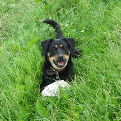 Lost dog on 29 Dec 2009 in Tankerstown, Bansha, Tipperary. Friendly, loving family pet. Bear is a Lab x Rottweiler bitch. 1year old. Neutered, microchipped, wearing a collar with tag - but this may have come off. Black with tan markings. Generous reward for getting our girl home safe & sound.