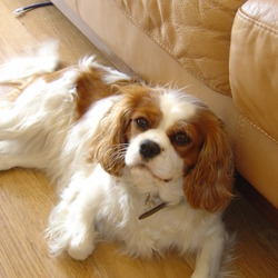 Lost dog on 29 Jan 2010 in Arklow. King Charles Spaniel, Name Lou Lou, Brown and white.  Contact 0868581530. Reward for return