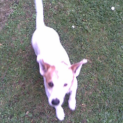 Lost dog on 29 Jan 2010 in raheny/harmonstown. jack russel male white with tan patch over eye tan ears and tan patch on back of neck.blue collor with id disc with name and ph number not in use. please phone 085-7363573