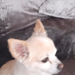 Lost dog on 29 Mar 2021 in Finglas. Chiwawa Charlie lost in Finglas.Tiny do much loved and missed. 0861428861
