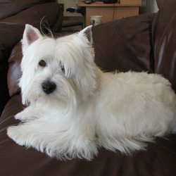Reunited dog 29 Sep 2009 in Claregalway, Co Galway. West Highland,  s years old, ansfers to the name of Scruffy, stolen from Claregalway, @ 10.30 a.m. September 29th.  very friendly dog, was wearing a red pet safe collar.  Recently clipped on her face, so is not similiar to her photo. Reward offered by distraught family. Please phone 087-7505209