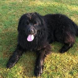 Lost dog on 29 Sep 2018 in Kilcock / Enfield road. Large black Newfoundland dog missing. very friendly.