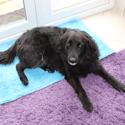 Reunited dog 30 Aug 2020 in Littlepace Clonee . Missing from Hunter's Run, Littlepace, Clonee jet black 13 year old Collie Cross named Cherry.**Found by a kind soul  **