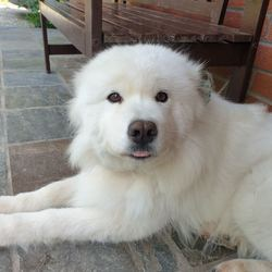 Lost dog on 30 Dec 2019 in Wexford . Female Samoyed 9 year old goes by the name of Sura last seen 9pm around Ballymurn Wexford. Last seen wearing blue radio collar and a pink bandana with her name on it. Sura is neutered