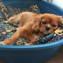 Lost dog on 30 Jun 2010 in Duleek, Co. Meath. Maddie is a 4 year old ruby coloured King Charles. She was wearing a colourful collar.