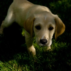 Lost dog on 30 Oct 2009 in ballyphehane cork. lab x beagle, 6 months old, male, friendly