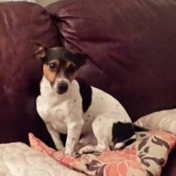 Lost dog on 30 Oct 2017 in Griffith Ave/Swords Rd. Sparky, a jack Russell missing from Monday Oct 30th.  Griffith Ave/Swords Rd area. Please contact Jimmy 0863848720. Sparky is chipped.