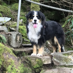 Reunited dog 31 Aug 2020 in Kilquane headford killarney kerry. Bernese female known as biscuit 4years/neutered Stitches in front pay Suspected stolen Reward offered for safe return