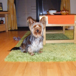 Lost dog on 31 Dec 2009 in Mullingar. If you or your friend find that dog, please call: 0851621135. I lost dog at New Year Night about 12 pm in Market Point, Mullingar. Reward for return or information where is my dog.