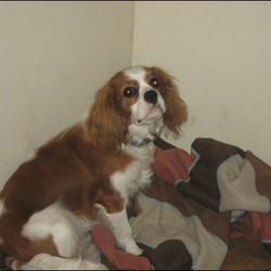 Lost dog on 31 Jan 2010 in Dublin15. Lost Cavalier King Charles. named Snoop.Colour brown and white has blue bone tag on collar with phone number 016404127 wrong number should be 016404182 lost on 31st January at 15:30 reward for return family pet