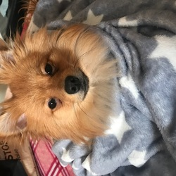 Reunited dog 31 May 2019 in Crumlin Dublin 12. Pomeranian, 1 year old, medium size