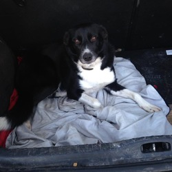 Lost dog on 31 Oct 0017 in Knock Inverin . Black collie missing since 31st of October 2017 from knock Inverin area