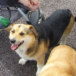 Lost dog on 31 Oct 2009 in Ponda Rosa, Annacarty, Dundrum, co.Tipperary. Tri Colour Corgi, Five years old, neutered, Nsme Bruff, much loved pet. 087-7982922