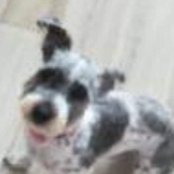 Lost dog on 31 Oct 2019 in Finglas south . Molly is missing from Finglas South. She got out after being frightened by the noise of bangers and ran. 