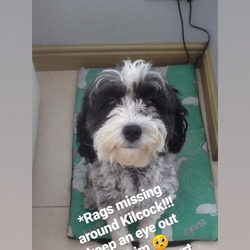 Lost dog on 31 Oct 2019 in Kildare. Missing in Kilcock, CoKildare