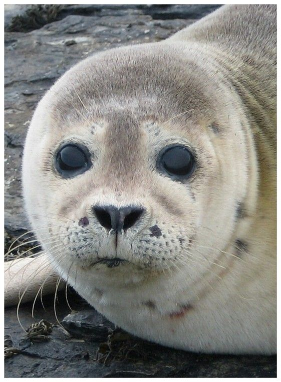 Young seal, Sanday