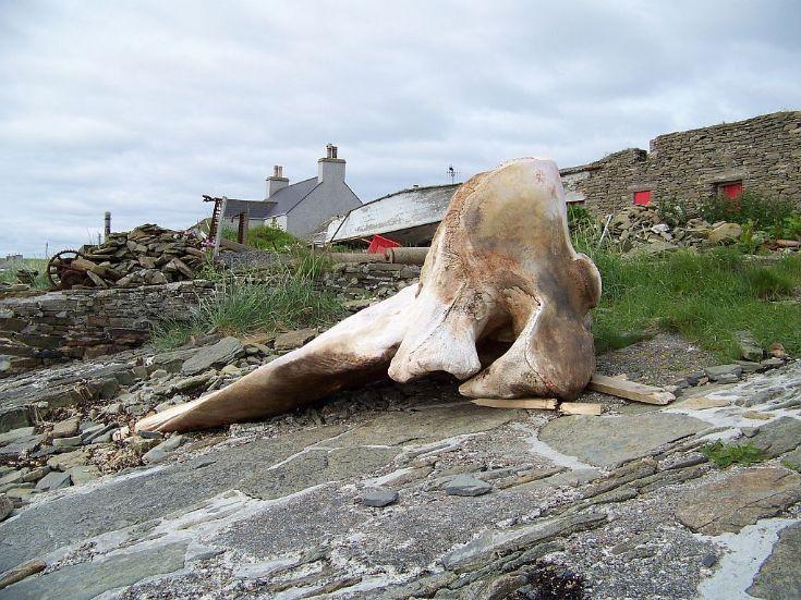 Whale head 1