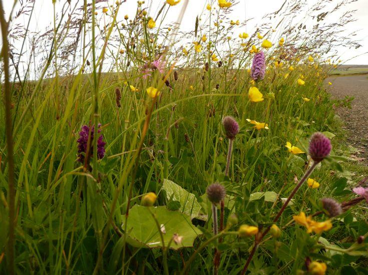 Orkney floral grass verge