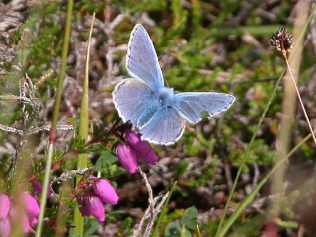 Blue butterfly in Hoy