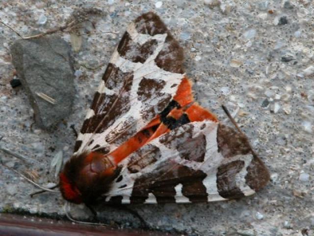 Unidentified moth, Hoy