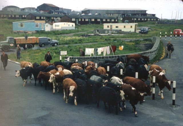 Cattle at the brig on the Ayre Road