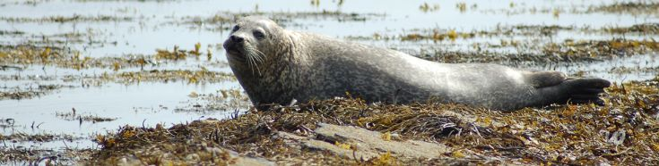 Stenness Seal