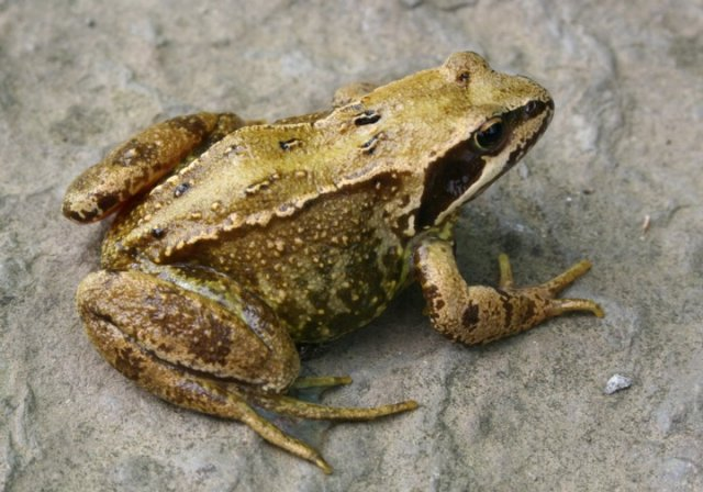 An Orkney frog