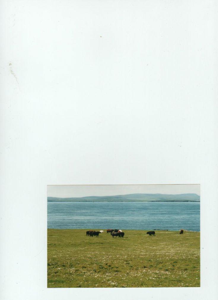 Swona cattle