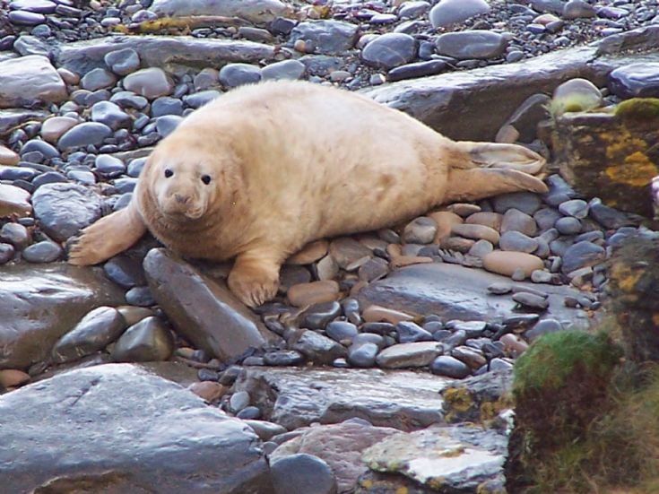 Seal pup, Lamb head, Stronsay, 2/11/08