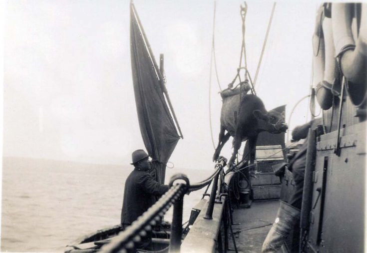 Cow being lifted aboard the HOY HEAD.