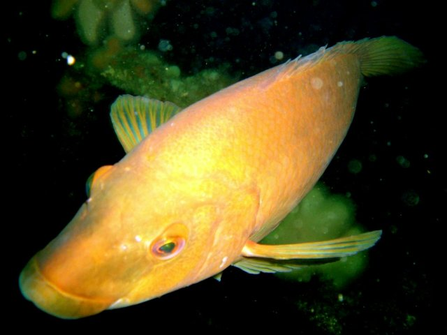 Wrasse on wreck of 'Endeavour'