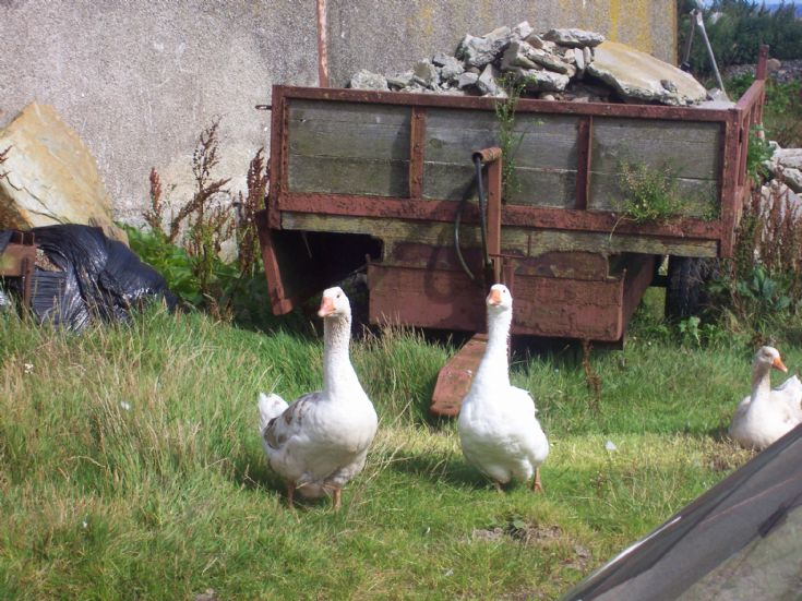 Geese at Cleat, Stronsay