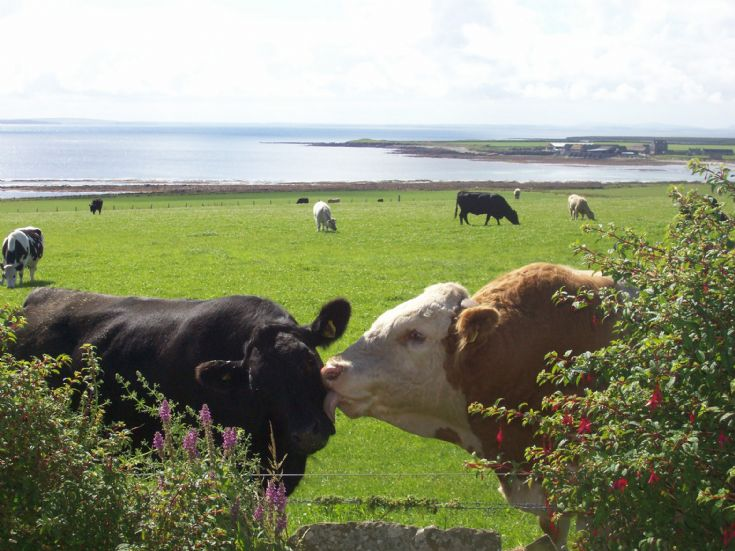 Coo and Bull at Cleat, Stronsay