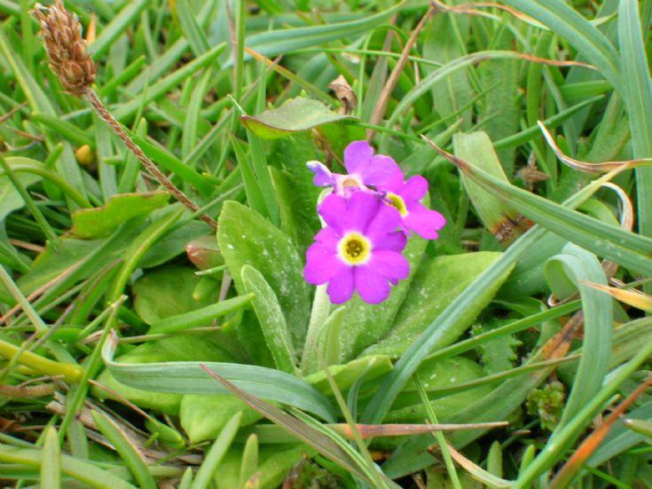Scottish primrose