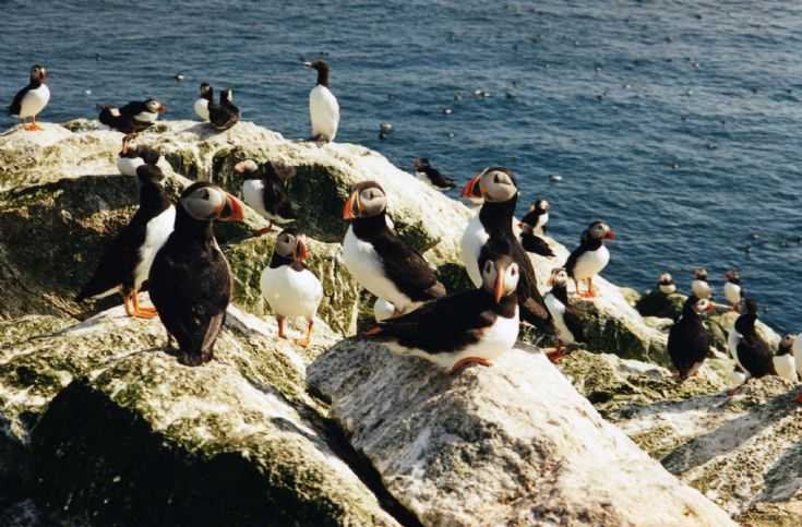 Puffins on Sule Skerry