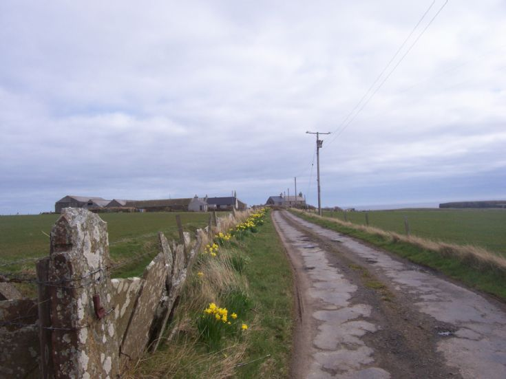 Daffodils at Cleat, Stronsay