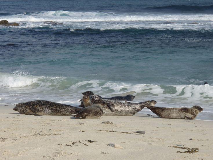 Sunbathing seals on Grobust Beach, Westray