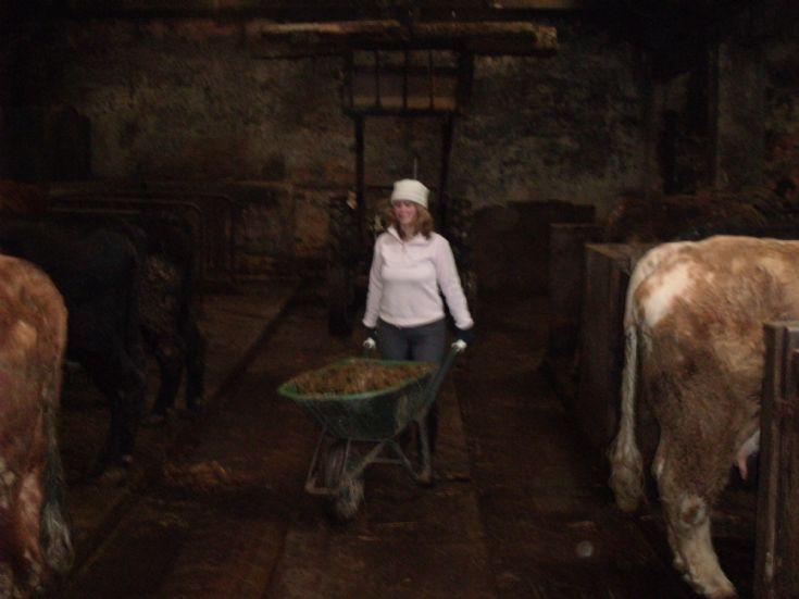 Karen Tait feeding cows at Ingsay