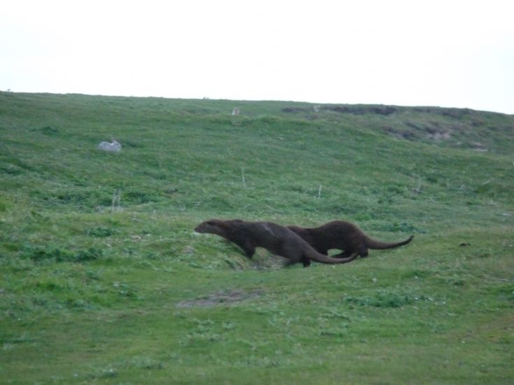 otters on the run