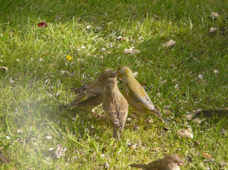 Greenfinches feeding