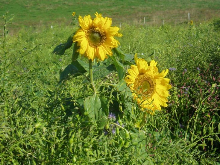 Sunflowers growing at Aithsdale