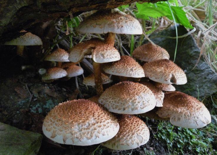 Shaggy Parasol mushrooms