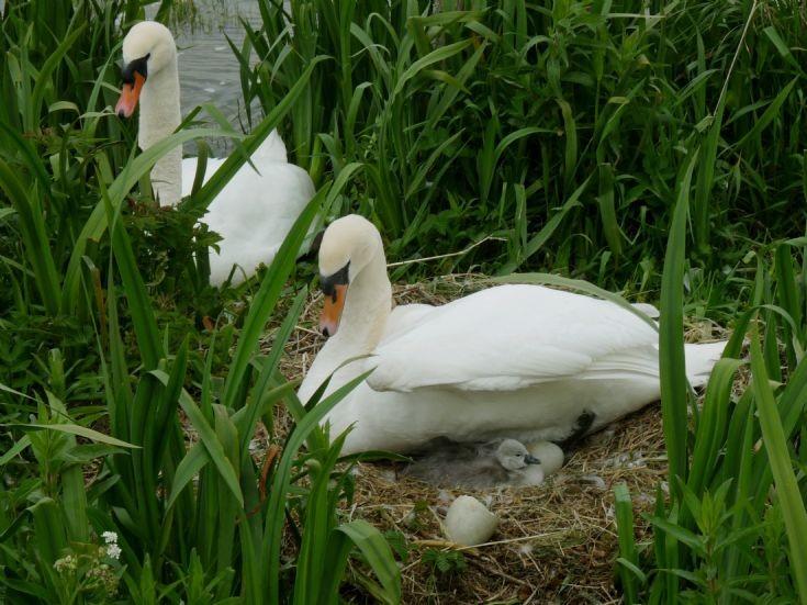 Brodgar Swans' first hatchling