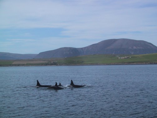 Killer Whales in Scapa Flow