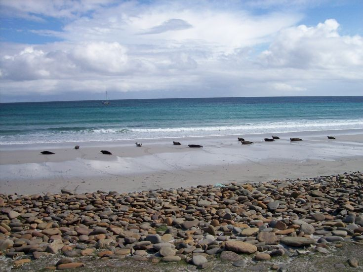 North Ronaldsay seals