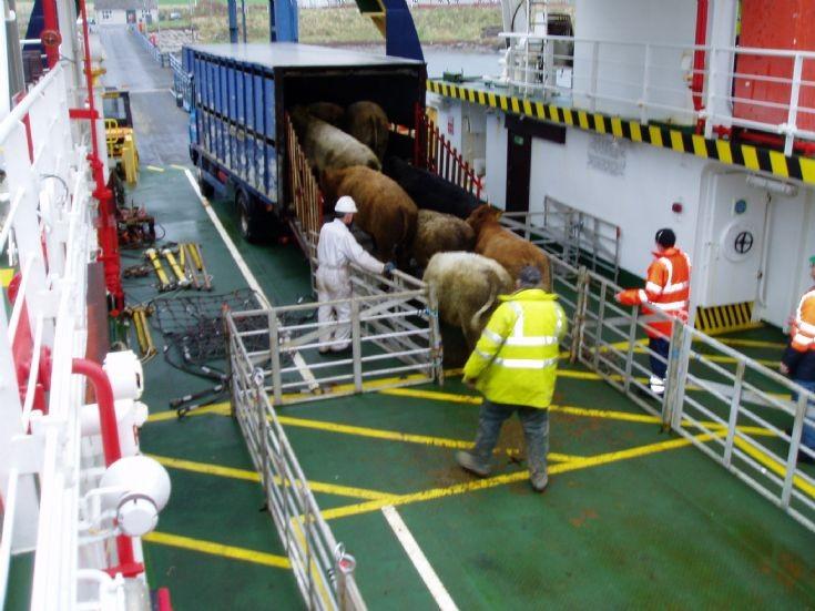 Garemsay cattle disembark